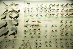Asiat Kina, Peking, nationella djura Museumï ¼ŒAnimal prover Royaltyfri Fotografi