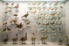 Asiat Kina, Peking, nationella djura Museumï ¼ŒAnimal prover Royaltyfria Bilder