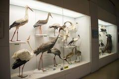 Asiat Kina, Peking, nationella djura Museumï ¼ŒAnimal prover Royaltyfri Bild