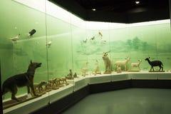 Asiat Kina, Peking, Pekingmuseum av naturhistoria Royaltyfri Bild