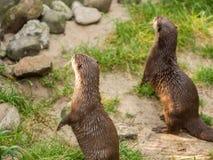 Asiat Klein-gekratzte Otterstellung Stockfoto