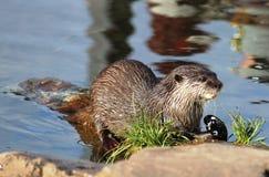Asiat kurz-gekratztes Otter aonyx cinerea Martin Mere Lizenzfreies Stockbild
