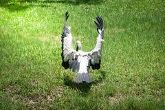 Asiat Openbill, das seine Flügel verbreitet Lizenzfreies Stockfoto