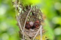 asiat Röd-vädrade bulbulfågelungar Fotografering för Bildbyråer