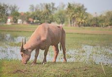 Asiat Stier auf dem Reisgebiet Lizenzfreies Stockfoto
