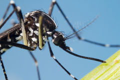 Asiat Tiger Mosquito (Aedesalbopictusen) Royaltyfri Bild