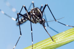 Asiat Tiger Mosquito (Aedesalbopictusen) Royaltyfri Fotografi