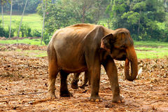 asiatet behandla som ett barn elefanten Royaltyfri Bild