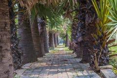 asiatet gömma i handflatan palmyraen Royaltyfri Bild