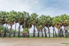 asiatet gömma i handflatan palmyraen Royaltyfria Bilder