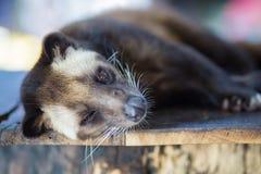 Asiatet gömma i handflatan sibet producerar Kopi luwak Royaltyfri Foto