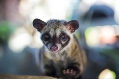 Asiatet gömma i handflatan sibet producerar Kopi luwak Royaltyfri Fotografi