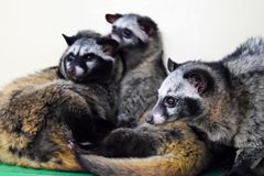 Asiatet gömma i handflatan sibet som vilar i zoo arkivbild