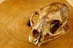 Asiatet goldden den katt- eller Temmincks kattskallen och hörntanden arkivbild