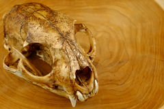 Asiatet goldden den katt- eller Temmincks kattskallen och hörntanden arkivfoton