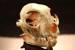 Asiatet goldden kattskallen och skallen på svart bakgrund royaltyfri bild