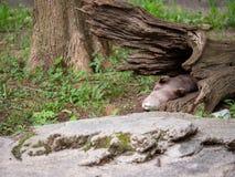 Asiatet liten-klöste utterAonyx cinereal ta sig en tupplur inom av ett brutet träd arkivfoton