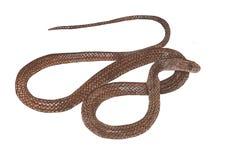 Asiatet tjaller ormen Arkivbilder