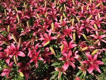 asiatic лилия Стоковая Фотография RF