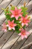 asiatic лилия Стоковые Изображения RF