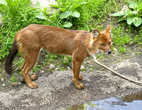 asiatic собака одичалая Стоковое Изображение RF