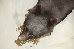 asiatic чернота медведя Стоковые Изображения RF