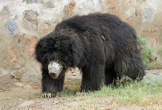 asiatic чернота медведя Стоковая Фотография RF