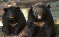 asiatic чернота медведя Стоковые Фотографии RF