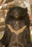 asiatic чернота медведя Стоковые Изображения
