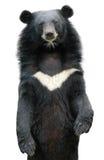 Asiatic черный медведь стоковые изображения