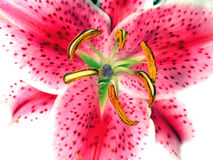 asiatic лилия Стоковые Фотографии RF
