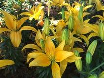 asiatic лилия Стоковое фото RF