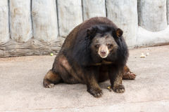 Asiatic bear Royalty Free Stock Photos