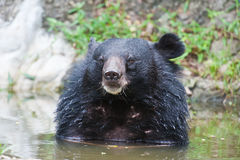 asiatic björnblack Royaltyfri Bild