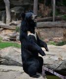 asiatic björnblack arkivbilder