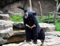 asiatic björnblack Arkivfoton