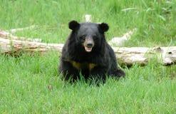 Asiatic black bear. At chiang mai night safari Stock Photography