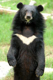 Asiatic black bear Stock Photo