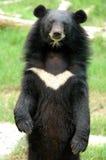Asiatic black bear. At chiang mai night safari Stock Photo