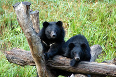 Asiatic black bear Stock Image