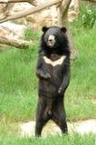 Asiatic black bear. In chiang mai night safari Royalty Free Stock Photography