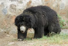 Asiatic Black Bear Royalty Free Stock Photography