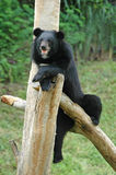 Asiatic black bear Stock Images
