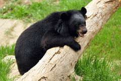Asiatic black bear Stock Photography