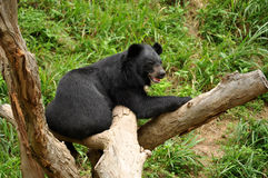 Asiatic black bear Royalty Free Stock Photo