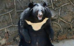 Asiatic black bear Stock Image