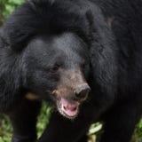 Asiatic black bear face Stock Image