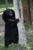 Asiatic black bear Royalty Free Stock Photo