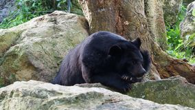 Asiatic black bear resting on rocks in close up stock footage