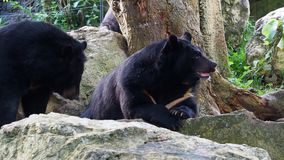 Asiatic black bear resting on rocks cuddling with another black bear stock video
